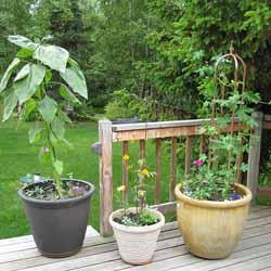 Как правильно выращивать сладкий перец?