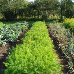 Как выращивать лук из семян?