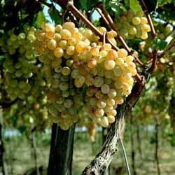 Тонкости ухода за диким виноградом