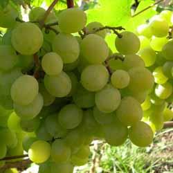 Как формировать виноград