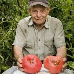 Выращивание помидор: в теплице или в открытом грунте?