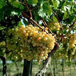 Виноград весной: посадка, обработка, полив и уход