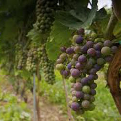 Виноград - польза или вред?