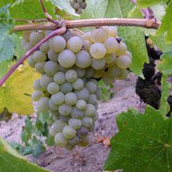 Особенности выращивания винограда из косточки