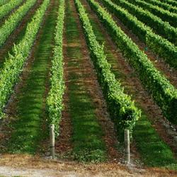 Прищипывание винограда: просто и доступно каждому
