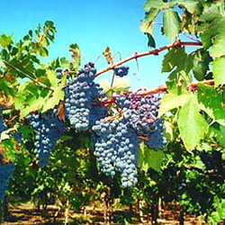 Выращиваем зимостойкий виноград самостоятельно