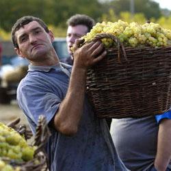 Как правильно поливать виноград