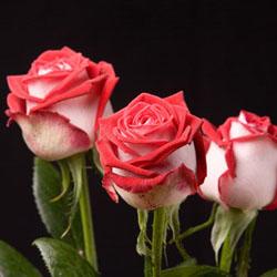 Как ухаживать за чайными розами в домашних условиях