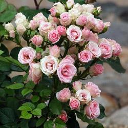 Розы и уход за ними в домашних условиях