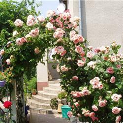 Уход за розами на садовом участке