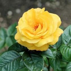 Все о разведении роз в домашних условиях