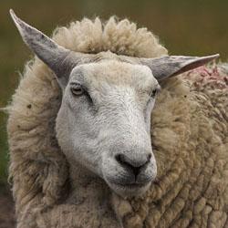 Секреты кормления овец