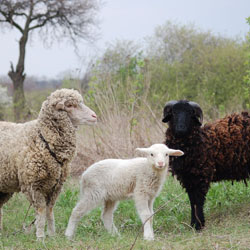 Породы овец: гиссарская и романовская