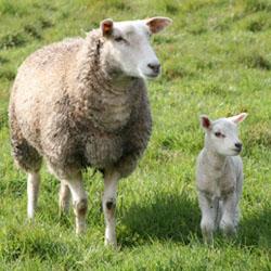 Как сделать хлев для выращивания овец