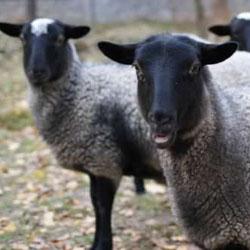 Болезни овец и их лечение