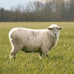Особенности овец: шерстная продуктивность