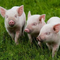 Фермерское хозяйство: свиноводство