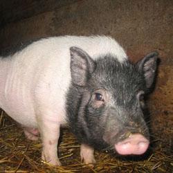 Тонкости ухода за домашними свиньями
