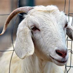 Как доить козу?