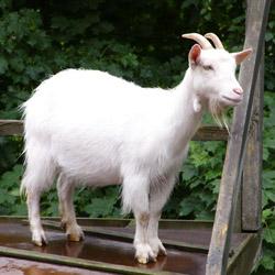 Болезни коз и их лечение