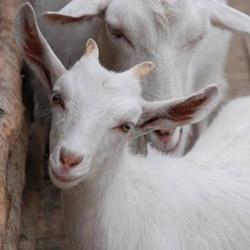 Уход за козами: кормление