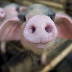 Оборудование для свиноводства: кормушки своими руками