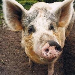 Как разделать свинью?
