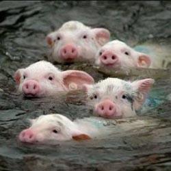 Ветеринария: вакцинация свиней