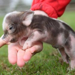 Содержание и разведение свиней в домашних условиях