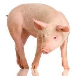 Обзор мясных пород свиней