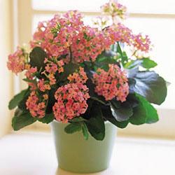 Какие существуют виды цветка каланхоэ?