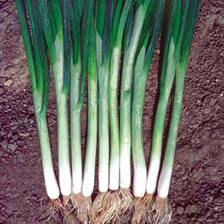 Выращиваем семейный лук на перо своими силами