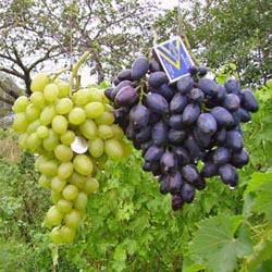 фото как цветет виноград