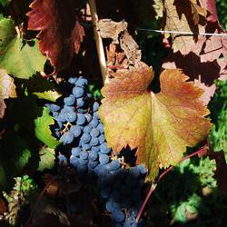 Декоративный комнатный виноград: в чем его особенности?