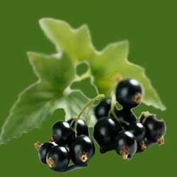 Лечение пятен на листьях смородины