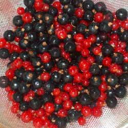 Сорт золотистой смородины: выращивание и уход
