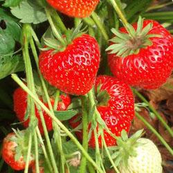Особенности выращивания клубники в бочке