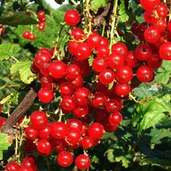 Чем полезны листья смородины?