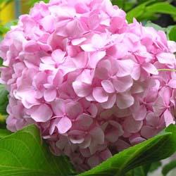 Гортензия садовая: посадка и уход