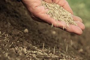 декоративная-трава-для-газона